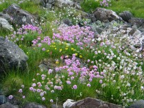 Wildflower sea campion sea pink birdsfoot trefoil Fionnphort Isle of Mull