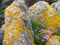 Sea pink and lichen Fionnphort
