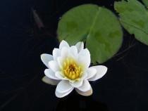 Wildflower Scottish water lily Loch Pottie Fionnphort Mull