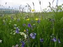 Wildflowers Isle of Ulva