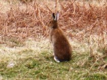 Irish Winter Hare Fidden Isle of Mull