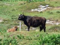 Ardalanish Farm Kyloe cow Isle of Mull