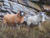 ewe and tup, MacKinnon's Cave Isle of Mull