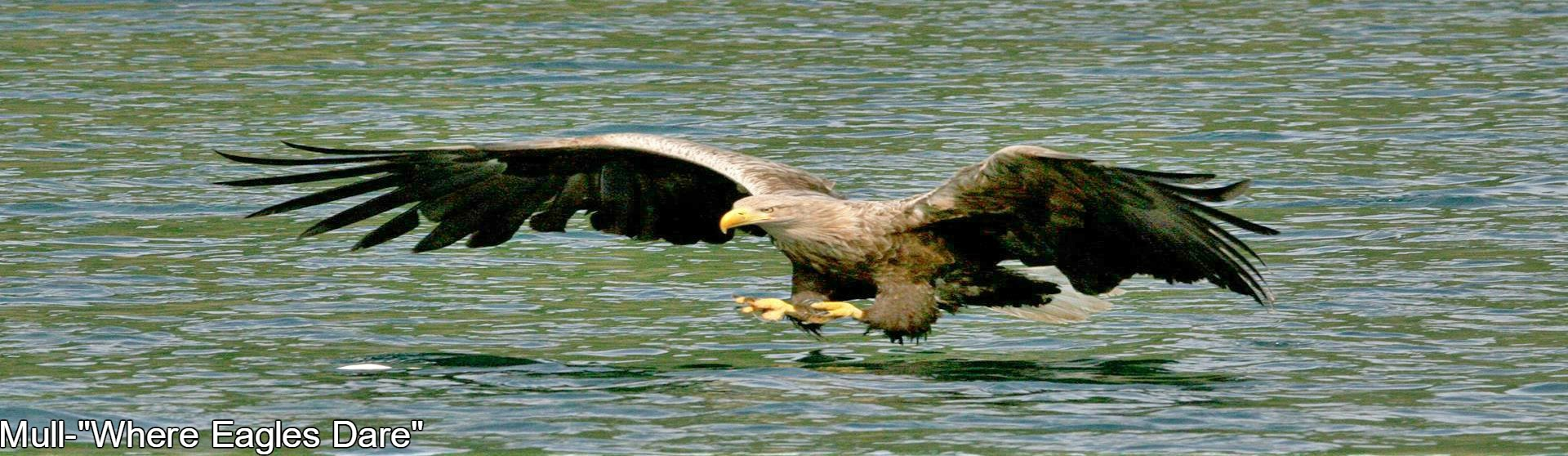 Sea Eagle,White tailed Eagle,Eagle Island,Fish Eagle,Isle of Mull,Mull