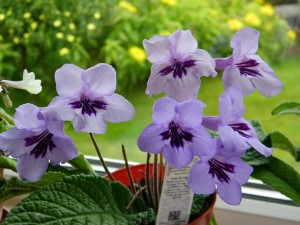 Streptocarpus, Seaview,accommodation, Fionnphort,Isle of Mull