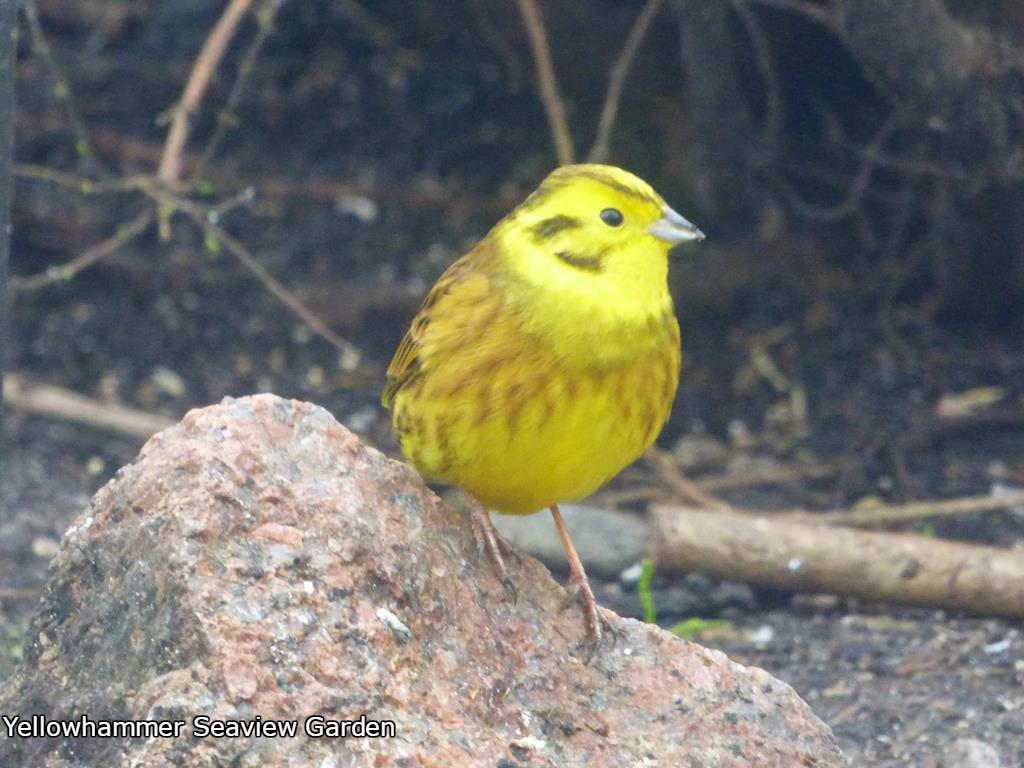 Yellowhammer,Seaview garden, Fionnphort,Isle of Mull