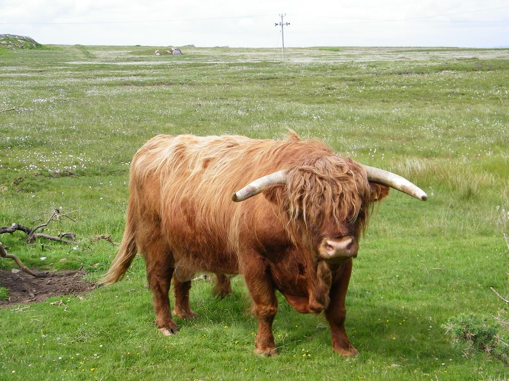 Highland Bull,Isle of Mull