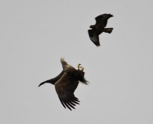 boat-trips-and-tours,sea eagle,Isle of Mull