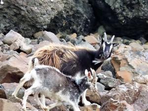 Walks on Mull, Goats, Carsaig