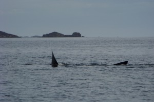 Basking Shark near Iona from Wanderer