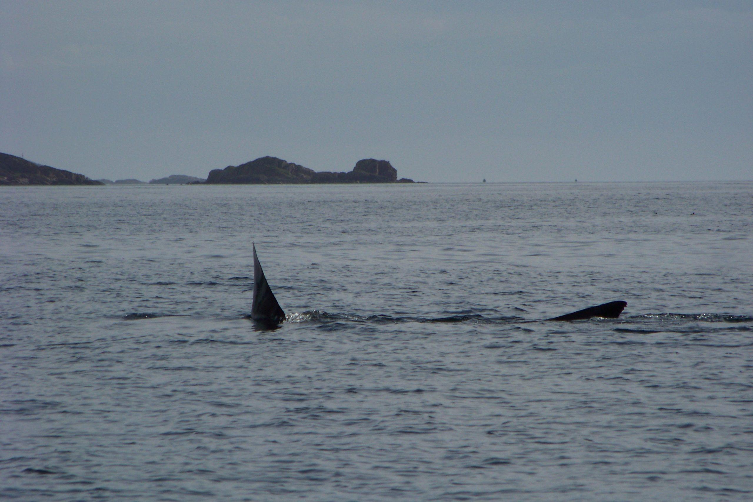 Wildlife, Basking Shark, Iona