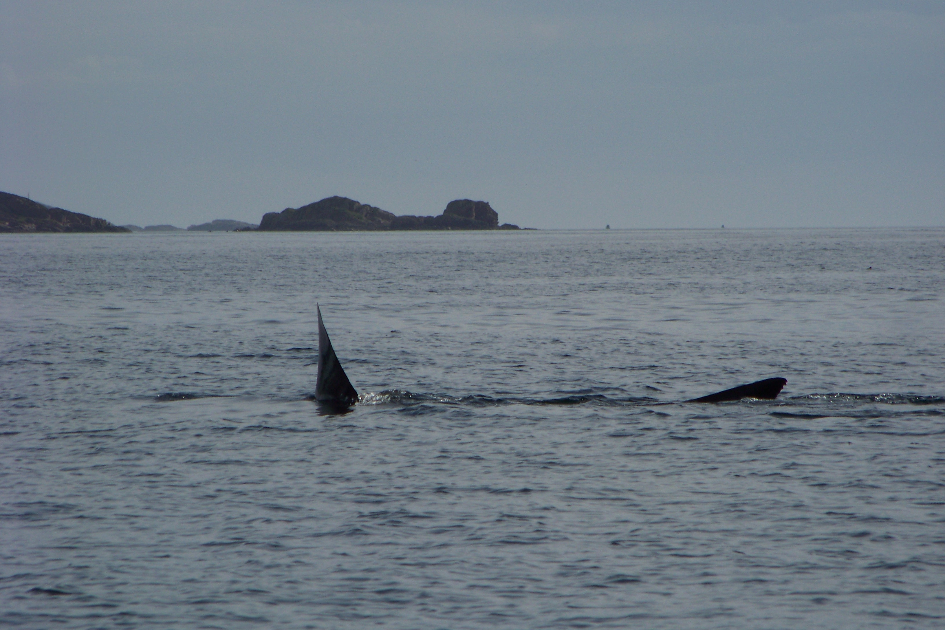 Wildlife, Basking Shark, Iona