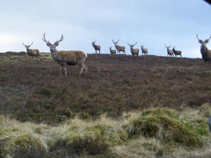 Red Deer Herd Isle of Mull