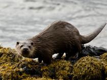 Otter Loch Scridain Isle of Mull