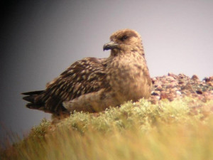 Great Skua, Bonxie, Treshnish Lunga Staffa Mull, wildlife