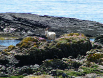 wild goat Burg Mull