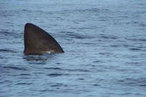 Basking Shark, Staffa