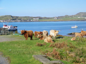 Highland Cows Fionnphort Isle of Mull