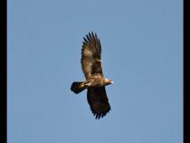 Golden Eagle Ben More Mull