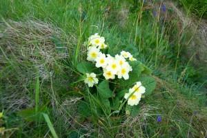 Primrose wildflower,Isle of Staffa