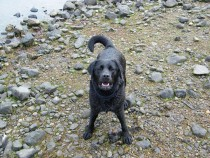 Labrador retriever Seaview bed and breakfast Isle of Mull