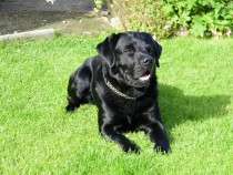 Black labrador retriever Jock Seaview bed and breakfast