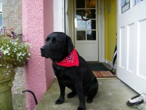 Black labrador retriever Seaview bed and breakfast Isle of Mull