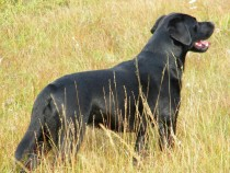 Black Labrador retriever Lainie in the field