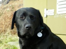 Black labrador retriever Sea kingdom Lassie of Mull
