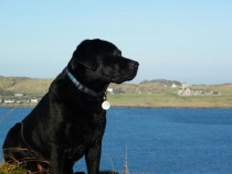 Black labrador retriever Fionnphort Isle of Mull Isle of Iona