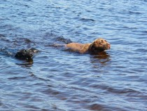 Megan and Lainie labrador retrievers swimming