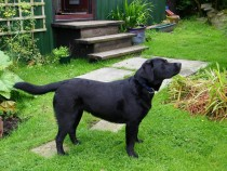 Black labrador Lainie at Seaview bed and breakfast Isle of Mull