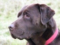 Kenmellieven Melting Wispa Chocolate labrador retriever Seaview Mull