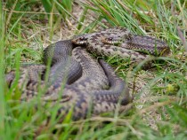 Adder snake, Isle of Mull, wildlife