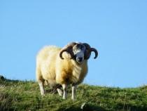 Blackface Ram Tup Isle of Mull