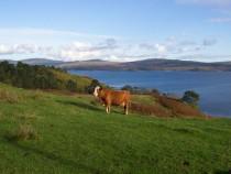 Cow Tavool Isle of Mull Ardmeanach