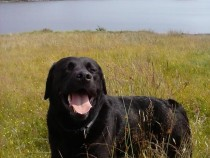 Lainie labrador retriever Loch Pottie Mull