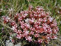 Wild flower Isle of Mull Stonecrop