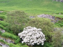Wild flower Isle of Mull Flowering Hawthorn Glenbyre