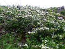 Wild flower Hawthorn Fionnphort Isle of Mull June