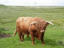 Highland Bull Creich Isle of Mull