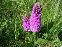 Wild flower Orchid Fionnphort Isle of Mull