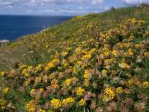 Wild flower Kidney vetch Island Carn na Burg Mor Treshnish Mull