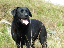 Lainie black labrador Isle of Mull