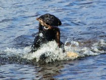 Black Labrador Lainie retrieving Isle of Mull