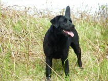 Lainie labrador Fidden Isle of Mull