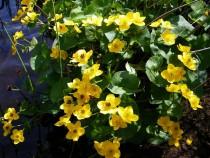 Wild flower marsh marigold Creich Isle of Mull