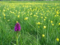 Wild flower Northern Marsh Orchid Machair Isle of Iona