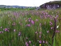 Wildflower Ragged Robin Fionnphort Isle of Mull