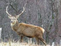 Wildlife, Red Deer Stag, Isle of Mull